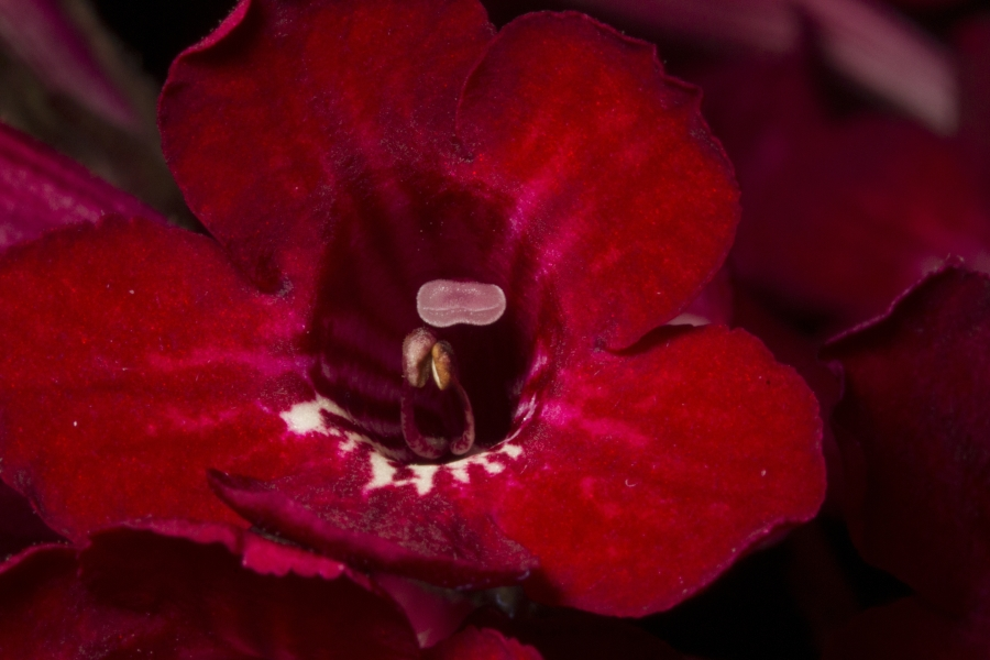 2019 Convention <br>Old World Gesneriads in Flower  <br>Class 33 – <i>Streptocarpus</i>, subgenus <i>Streptocarpus</i>, cultivars with variegated foliage <br>BEST DALE MARTENS HYBRID