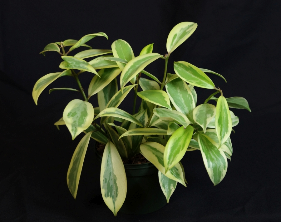 2019 Convention <br>Gesneriads Grown for Ornamental Qualities Other Than Flowers  <br>Class 38 – Other gesneriads with variegated foliage