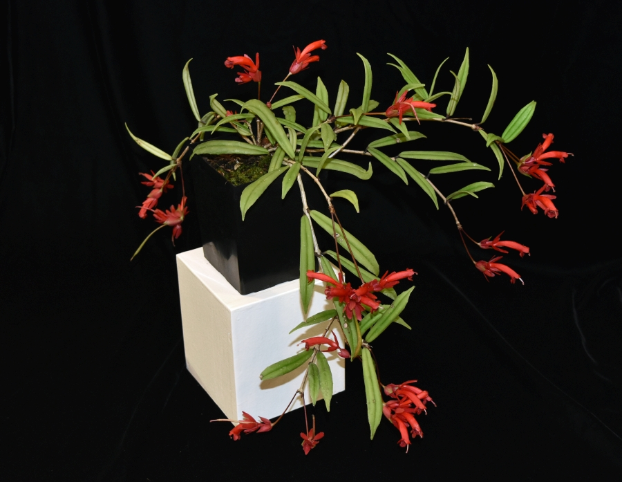 2019 Convention <br>Lesser-Known Gesneriads Seldom Grown or Seen in Shows  <br>Class 45 – In flower <br>BEST IN SECTION G – LESSER-KNOWN GESNERIADS