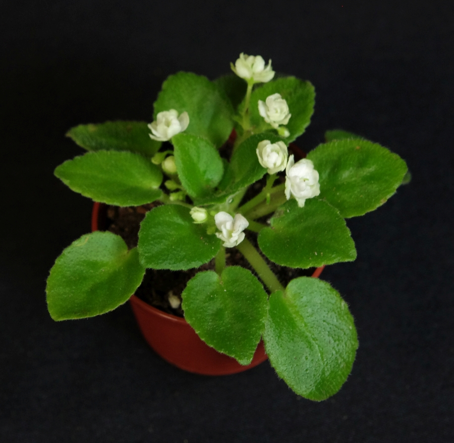 2019 Convention <br>Gesneriads Grown by a Novice  <br>Class 48 – Gesneriads in flower