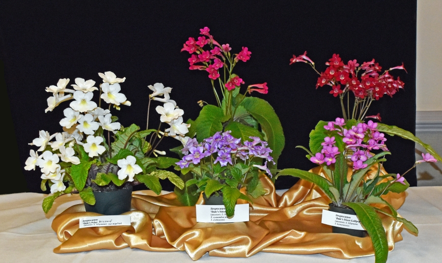 2019 Convention <br>Collections of Gesneriads  <br>Class 50A – Plants of a single genus (other)