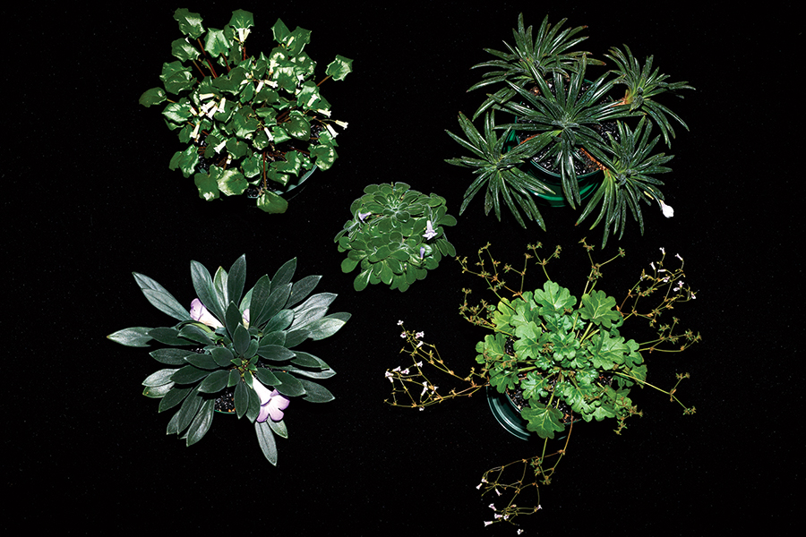 2019 Convention <br>Collections of Gesneriads  <br>Class 50B – Plants of a single genus (Primulina)  <br>BEST IN THE HORTICULTURE DIVISION <br>BEST IN SECTION J – COLLECTION OF GESNERIADS <br>BEST PRIMULINA