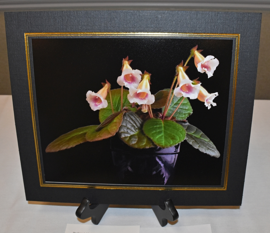 2019 Convention <br>Photography <br>Class 70 – Color print of a whole gesneriad plant <br>BEST IN SECTION O – PHOTOGRAPHY